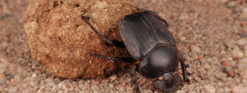 Squelette-scarabée