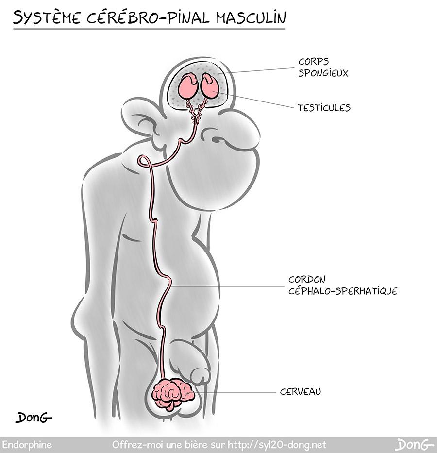 """Schéma d'un homme vue en coupe. Dans son crâne on voit une paire de testicules entourée de corps spongieux, plus bas dans ses bourses et relié par le """"cordon céphalo-spermatique"""" : le cerveau."""
